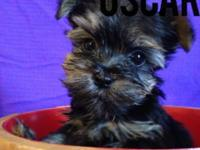 Oscar is a yorkie-poo male Dob-Janurary 22 he will be 8