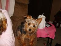 yorkie-poo male 6mos old has been nutered has all shots