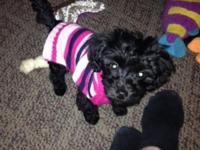 I have a girl, 5 month aged yorkie poo! She is utd on