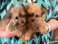 I have 3 female yorkie poo's, they are 7 weeks old and