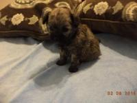 Yorkie poo girls. photos do not do these girls justice,