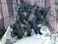 I have 2 solid black yorkiepoos mix , boy & girl