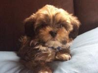 Berkeley is a 9 week old male Yorkie poo. He has had