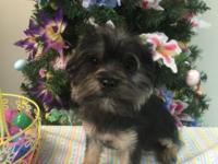 Male yorkiepoo 18 weeks old. Has All shots including