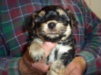 I am a yorkie-poo boy I am cute,cute born 3-16-15 utd