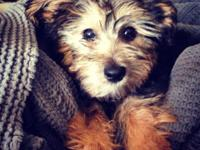 We are trying to find our Yorkie Poo a good home. She