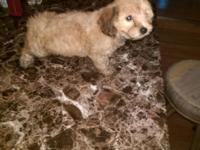 Female mini poodle an yorkie mixed 8 weeks old has had
