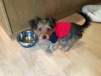 I have a 11 week old female Yorkie Poo. I am asking
