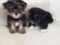 Very cute yorkie poo we have 1 female for 300 and 1
