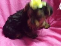 I have a beautiful Yorkie poo baby's male's and female,