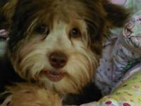 Yorkie Poo Boy Yorkie Poo Coco is a very sweet and