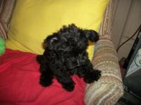 Nice Non Shed Yorkie Poo Small Toy Sized. Phone calls