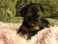 Cute Yorkie poo female dob June 10 she will be 8 weeks