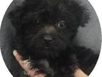 Will have available a female black Yorkie-poo Puppy.