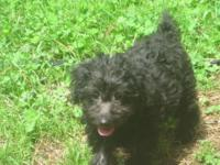 I have one YORKIE-POO Puppy that is ready for her new