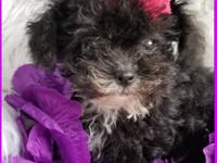 Beautiful yorkie poo female really tiny 1.10 pounds and