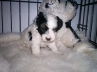 Beautiful parti boy. Approx adult wt. 6lbs Parents on
