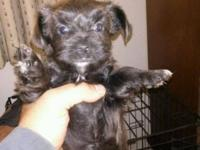 GORGEOUS YORKIE POO PUPPIES FOR SALE. 2 FEMALES.14