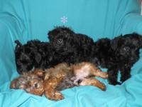 3 Male Yorkie-Poo puppies. 2 Black Males $300 each Rust
