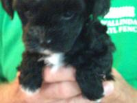 Yorkie-Poo puppies, born 7/28/15. Parents on site ( 8
