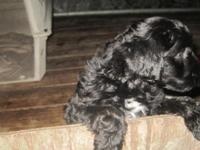 I have a litter of  YORKIE-POO Puppies that are