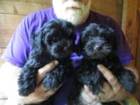 I have a litter of YORKIE-POO puppies that are ready