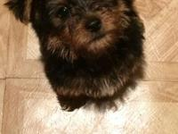 Two 7 Week Old Male Yorkie Poo Puppies. Very Loveable