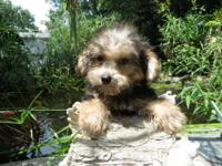 I have 2 male and 1 female Yorkie-Poo puppies. They are