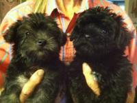 I have 2 8 week old Yorkie Poo male puppies ready for