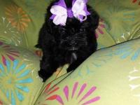 3 male and 1 female yorkie poo puppies that are ready