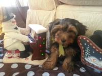 I have beautiful yorkie poo puppies ready for a new