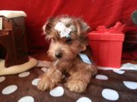 we have a beautiful angels 8weeks old yorkiepoo ther
