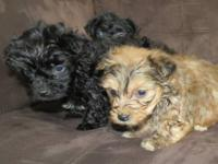 Yorkie-poo puppies, CKC poodle father 7 lbs, CKC Yorkie