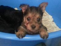 I have 2 female and 1 male Yorkie Poo babies. They will