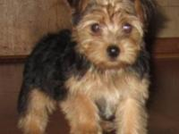 Darling 3/4 Yorkie and 1/4 Poodle puppies. 9 weeks old