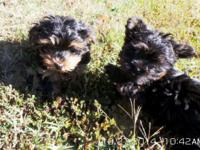 I have two Yorkie Poo puppies for sale, Very adorable,