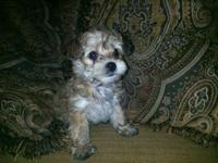 We have 4 cute yorkie poo young puppies, they are