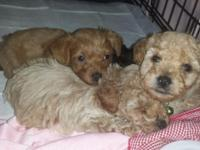 2 female puppies so cute!! Born on 10/09/2014 will be