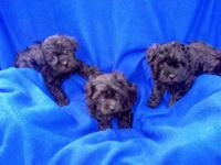 Yorkie-Poo puppies. They have had there first set of