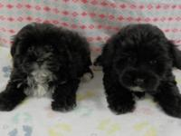 I have this male and female Yorkie-Poo puppy.