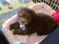 2 chocolate Yorkie-Poo female puppies. 9 weeks old, 1st