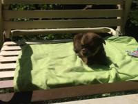 Very sweet yorkie poo puppies males and females. Tails