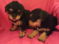 I have 2 beautiful Yorkie Poo Baby's Both are ladies