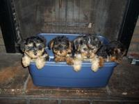 Yorkie-Poo young puppies for sale !! 2 male and 2