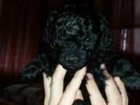 I have two more yorkie-poo young puppies for sale. They