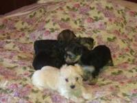 Stunning litter of Yorkie-Poo Puppies for Sale. They