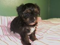 I have 2 females and 1 male Yorkie-Poo puppies for