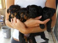 We have 4 adorable Yorkie-Poo pups for adoption! Mom is