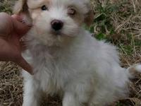 We have a litter of three beautiful Yorkie Poo puppies,