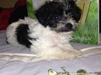 Yorkie poo puppies, very small, mom is a poodle and dad